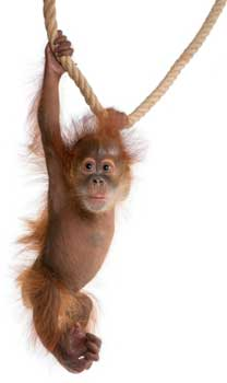 baby orangutan swinging from rope