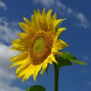 oil pulling with sunflower oil